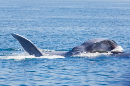 Blue Whale lunge feeding