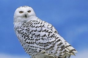 snowy-owl-thumb