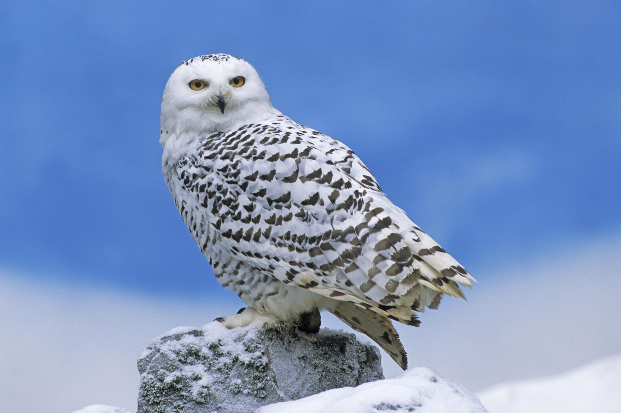 focusing on wildlife u2013 snowy owls whales worldwide