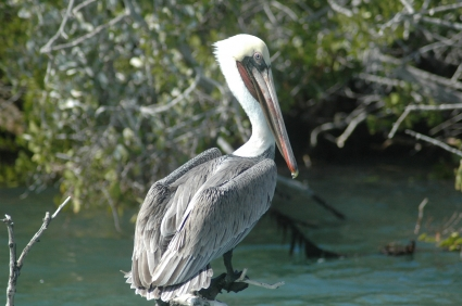 Brown Pelican roosting in the mangroves