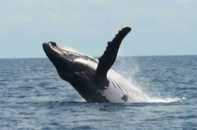 Breaching humpback whale off The Pearl Islands