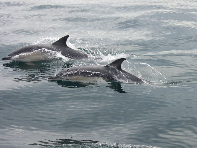 Short Beaked Common Dolphins off West Cork