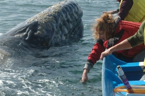 Pacific gray whales surfaces next to boat