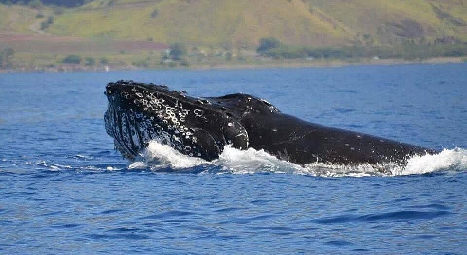 Male humpback whale bullfrogging