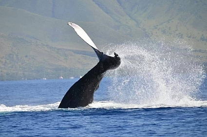 Male humpback whale peduncle (tail stock) slapping a rival male