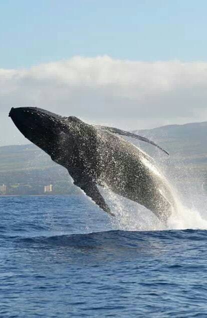 Humpback whale mother breaching beside her calf