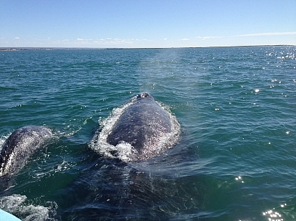 Mother and calf gray whale swim under our boat