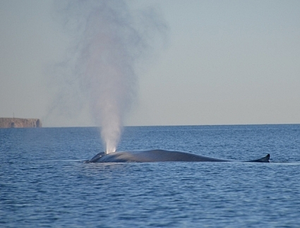 Massive blow from adult blue whale