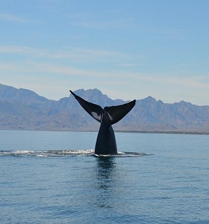 Blue whale tail lobbing
