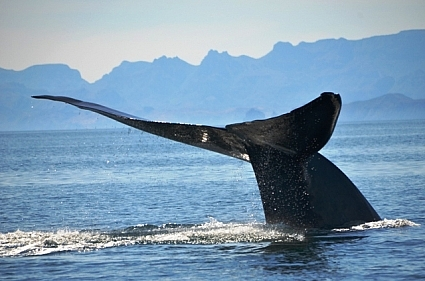 Blue whale tail fluke on sounding